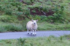 Sheep standing in the road royalty free stock photo