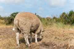 Sheep standing in summer close-up Stock Image