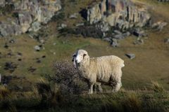 Sheep standing on top of small hill in New Zealand royalty free stock photo