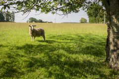 Sheep Standing Under Tree Stock Image