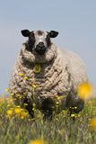Sheep standing and watching Stock Images