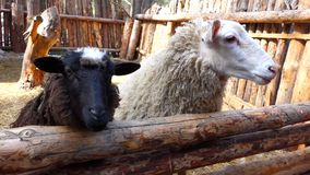 Sheep standing at a wooden fence and talk. Sunny spring day. Closeup stock video footage