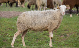 Sheep stared. Side view of sheep in the ground looking at camera, focus on eyes Stock Photo