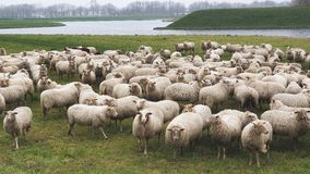 Sheep staring back near a fortress royalty free stock images