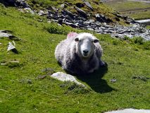 Sheep staring back at me. Lone sheep laid on hillside looking direct to camera with pile of slate behind stock images