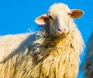 Sheep staring at the camera Stock Photo