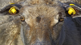 Sheep staring into camera. Showing its square pupils Stock Photos