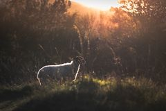A sheep staring out towards a sunset royalty free stock images