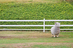 Sheep statuestanding Royalty Free Stock Photos
