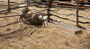 Sheep stealing grass Stock Image