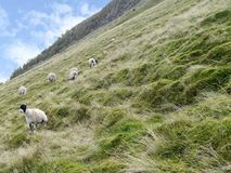 Sheep on steep hillside Royalty Free Stock Photo
