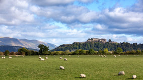 Sheep and Stirling Castle. A view of sheep grazing with Stiling Castle in the distance. Stirling, Scotland Stock Image