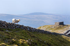 Sheep on a stone wall Royalty Free Stock Photo