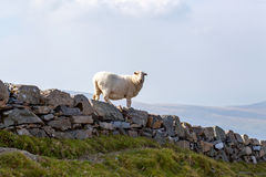 Sheep on a stone wall Royalty Free Stock Photos