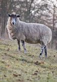 Sheep stood on a hill portrait Stock Photography