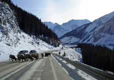 Sheep stopping traffic. Traveling to Jasper, Alberta, finding it is quite common for the mountain sheep to stop the traffic for quite some time stock images