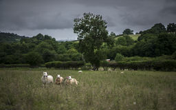 Sheep before the Storm. Uk. Welsh sheep in Herefordshire. Threatening Sky Royalty Free Stock Photos