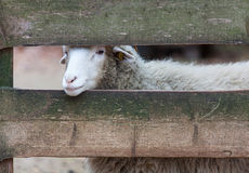 Sheep stuck her head through the fence royalty free stock image