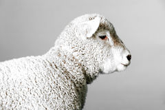 Sheep in Studio Royalty Free Stock Photography