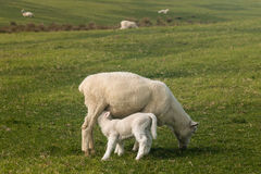Sheep with suckling lamb. On green meadow Stock Photo