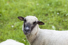 Sheep in a summer pasture Royalty Free Stock Image