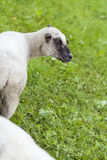 Sheep in a summer pasture Royalty Free Stock Photos