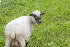 Sheep in a summer pasture Royalty Free Stock Images