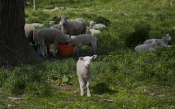 Sheep. In the summer time Stock Photography