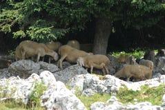 Sheep sun shelter Royalty Free Stock Image