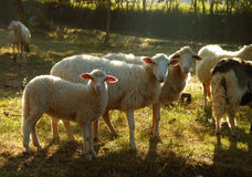 Sheep In Sunlight. Sheep in dappled shafts of morning sunlight, in a meadow royalty free stock images