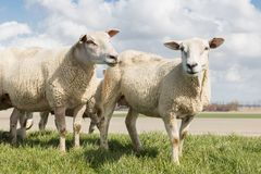 Sheep at sunny day in spring on top of a Dutch dike Royalty Free Stock Image