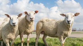 Sheep at sunny day in spring on top of a Dutch Stock Photography