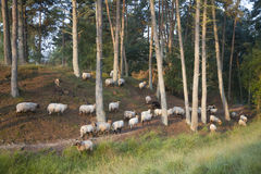 Sheep in sunny forest Royalty Free Stock Images