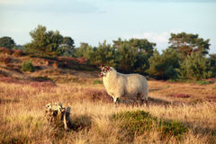 Sheep on sunny summer heathland. Drenthe, Netherlands Royalty Free Stock Images