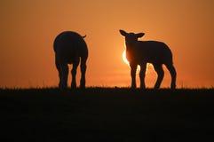 Sheep in sunset. Sheep enjoying the beautifull sunset Royalty Free Stock Images