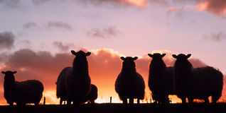 Sheep at sunset. Royalty Free Stock Photography