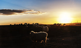 Sheep at Sunset. Sheep grazing at sunset on a farm in the welsh hills with wind turbines in the far distance Royalty Free Stock Photos
