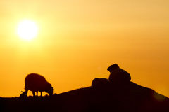 Sheep in sunset. Sheep and lamb eating together in a sunset at Karmøy, Norway Stock Photo