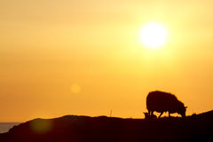 Sheep in sunset. Sheep and lamb eating together in a sunset at Karmøy, Norway Royalty Free Stock Photo