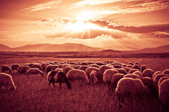 Sheep on Sunset Royalty Free Stock Photography