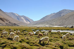 Sheep surrounding with mountain in Ladakh, India Stock Photos