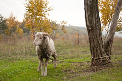 The sheep Royalty Free Stock Images