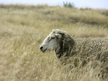 Sheep in tall grass Stock Photos