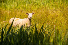 Sheep in the tall grass Royalty Free Stock Image