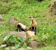 Sheep tethered on a hillside in the tropics Stock Image