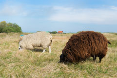 Sheep at Texel island Stock Photos