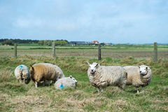 Sheep at Texel island Stock Image