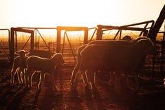 Sheep with their lambs Stock Photos