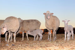 Sheep with their lambs. Sheep with their newborn lambs. Lamb drinking from an ewe royalty free stock image