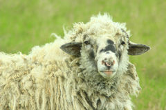 Sheep with thick fleece Stock Image